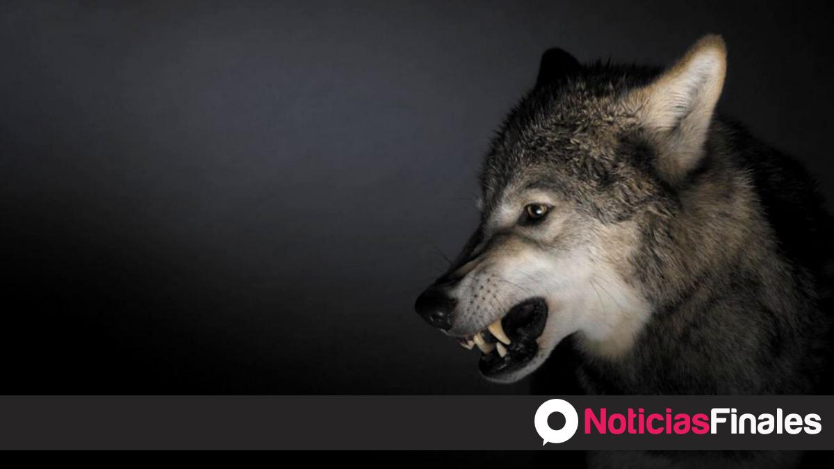 Conozcan Las 7 Evidencias Que Existen Sobre Un Pastor Lobo